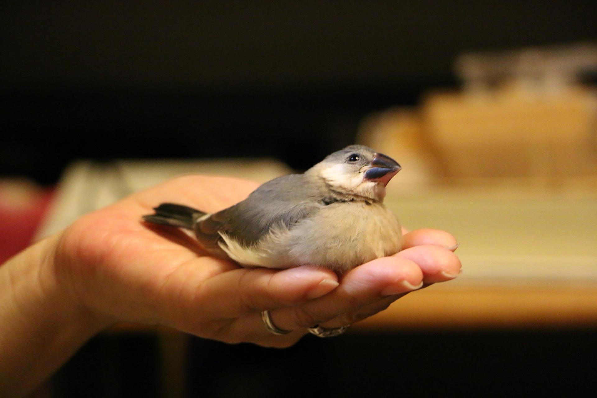 文鳥の体重が増えない時に飼い主ができることと必要な栄養素