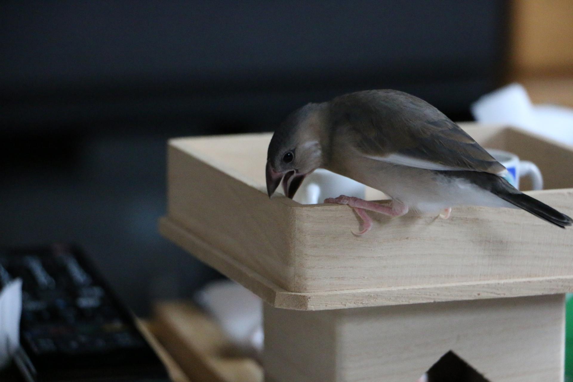 文鳥のくちばしが伸びるのはナゼ?原因と対処方法について